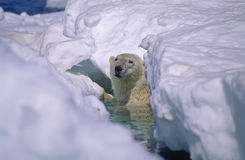 Polar bear. In ice floe, Canadian Arctic Stock Images