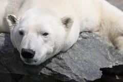 Polar bear. At the zoo stock photos