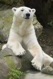 Polar Bear. Sitting upright slightly draped over a rock Stock Photos