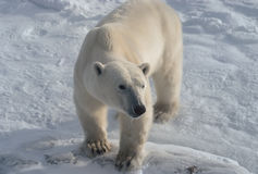 Polar bear. In Canadian Arctic Royalty Free Stock Images