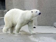 Polar Bear. In zoo enclosure Stock Image