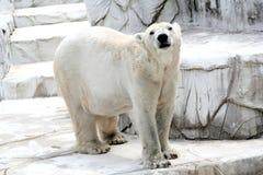 Polar Bear. In zoo Royalty Free Stock Photos