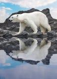 Polar bear. White polar bear on the cliff Royalty Free Stock Photography