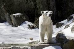 Polar bear. At the Bronx Zoo, New York City Stock Photography