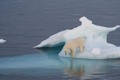 Polar Bear. On iceberg off Greenland Royalty Free Stock Photo