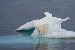 Polar Bear. On iceberg off Greenland Stock Photography