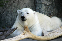 Polar Bear. A polar bear resting in the shade stock photo