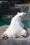 Polar Bear. Sunbathes on the rocks Stock Images