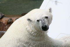 Polar Bear. Dripping wet polar bear outdoors with water in background Stock Images