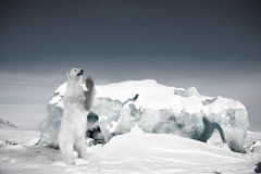 Polar Bear. A polar bear in a wild natural setting, Svalbard, Norway Royalty Free Stock Image