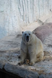 Polar bear. Adult polar bear sits on stones Royalty Free Stock Image