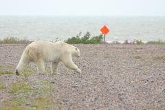 Polar Bear on the airfield. Impressive male Canadian polar bear walking across an airfield with the Hudson Bay in the background stock photo