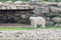 Polar bear alert Stock Photo