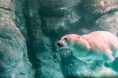 Polar Bear (Also known as Thalarctos Maritimus Royalty Free Stock Images