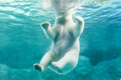 Polar Bear (Also known as Thalarctos Maritimus Stock Images