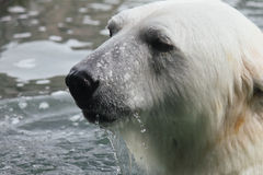 Polar Bear Anchorage Alaska Royalty Free Stock Photos