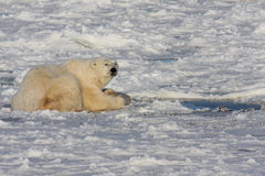 Free Polar Bear And A Seal Blow Hole Stock Photo - 11001690