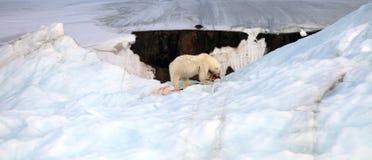 Polar Bear And Ivory Gull Stock Photo