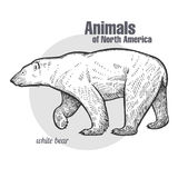 Polar bear. Animals of North America series. Stock Photography