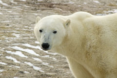 Polar Bear In Arctic. Polar bear standing or walking on tundra in Churchill Manitoba Royalty Free Stock Photos