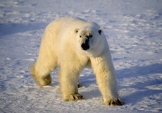 Polar bear in the Arctic. Polar bear on the tundra, photographed in the Canadian Arctic Royalty Free Stock Image