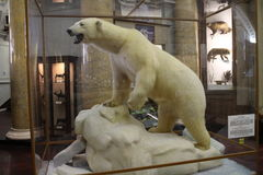 Polar bear in Arctic and Antarctic museum in Saint Petersburg Stock Photo
