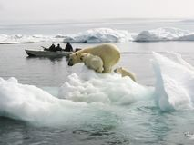 Polar bear in the arctic. Bears in the water stock images