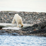 Polar bear in arctic. Polar bear endangered species to protect Royalty Free Stock Images
