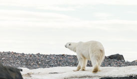 Polar bear in arctic. Polar bear endangered species to protect royalty free stock image