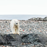 Polar bear in arctic. Polar bear endangered species to protect Stock Photography