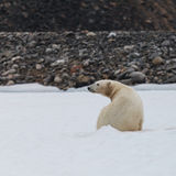 Polar bear in arctic. Polar bear endangered species to protect Royalty Free Stock Photography