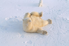 Polar bear and Arctic fox Stock Images