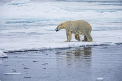 Polar bear in the Arctic ice floe, climbs out of the water Stock Photo