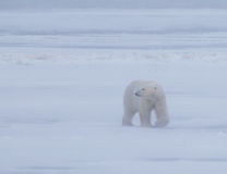 Polar bear on arctic tundra in Manatoba, Canada during 30mph winds Royalty Free Stock Photography