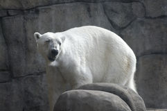 Polar Bear Around Rocks. Polar Bear in simulated environment surrounded by rocks stock images