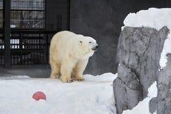 Polar bear. At Asahiyama zoo royalty free stock photos