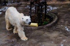 Polar bear at Asahiyama Zoo. Hokkaido, Japan- 11 Nov 2015: Polar bear in Asahiyama zoo, Hokkaido, Japan. The polar bear is a carnivorous bear whose native range stock photos
