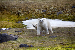 Polar bear attacked photographer. Polar bear ice bear, Ursus maritimus attacked photographer. Female never seen people and protects cub Stock Images