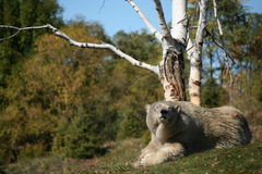 Polar bear in autumn. Polar bear enjoying the sunny fall weather, before winter comes Stock Photo