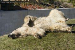 Polar bear in autumn Royalty Free Stock Photo