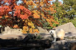 Polar bear in autumn Stock Photo