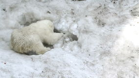 Polar Bear Baby digs a hole in the snow stock video
