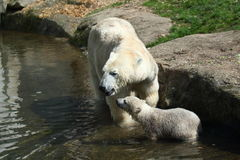 Polar bear with baby Royalty Free Stock Images