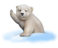 Polar bear baby Portrait climbing out of a snow. Portrait of a polar bear baby climbing out of a snow pile Royalty Free Stock Photography