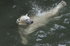 Polar bear. Baby Polar bear is swimming  in water Stock Images