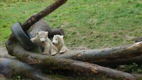Polar bear babys plaing on logs with car tire royalty free stock image