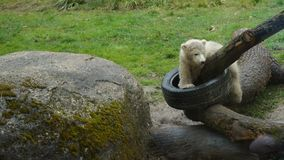 Polar bear babys plaing on logs with car tire royalty free stock photo