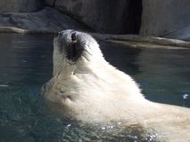 Polar bear backfloat. A back-floating polar bear Royalty Free Stock Photo
