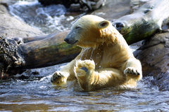 Polar Bear Bath. I caught this Polar Bear cub splashing in the cold water. Bath time can't get any better than this stock photography