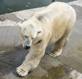 Polar bear after bathing Royalty Free Stock Photos